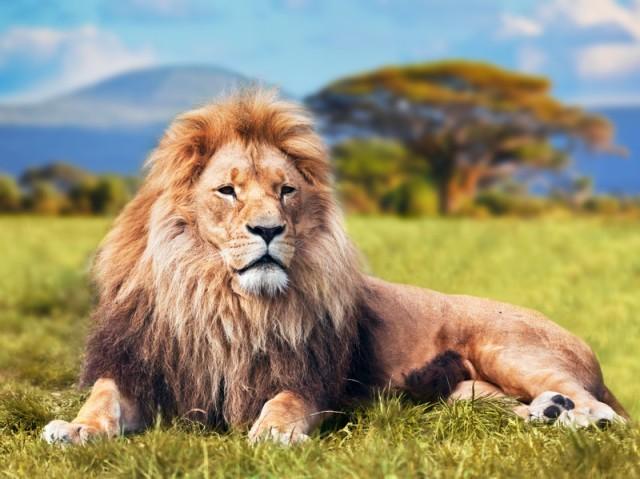 lion, Judah, Jesus, King, jungle, wildlife, wild, tame, Narnia, Chronicles of Narnia